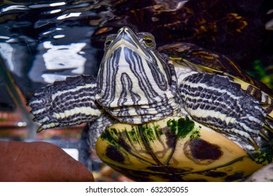 Red ear turtle