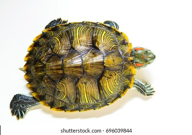 Red ear turtle isolated on white background.The view from the top.