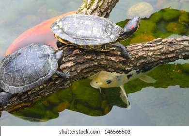 Red ear turtle on a log