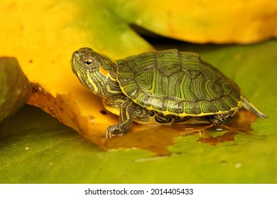 A red eared slider tortoise is basking on a lotus leaf before starting its daily activities. This reptile has the scientific name Trachemys scripta elegans.