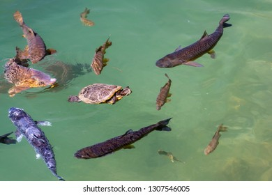 a red eared slider turtle and some trouts are swimming in company in a pond