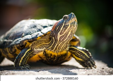 Red eared slider turtle (Trachemys scripta elegans) resting in the summer sunlight