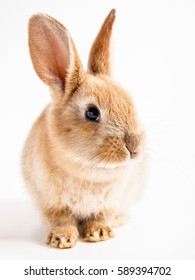 Red easter bunny rabbit portrait on white background