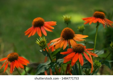 Red echinacea flower plant in a garden