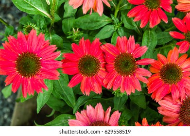 Red Echinacea flowers in full bloom with green leaves