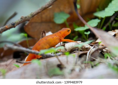 Red Eft in the Catskill mountains just out side Woodstock NY