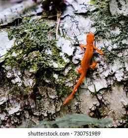 Red Eft crawling across a birch log
