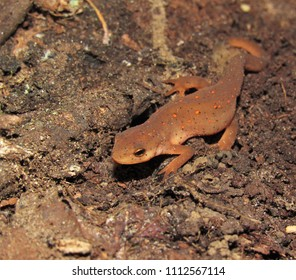 """The red eft stage of an Eastern Newt """"Notophthalmus viridescens"""" taking a nightly stroll, Mississippi"""