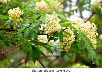 Red elder (Sambucus racemosa) is one of the earliest flowering wild shrubs of spring.