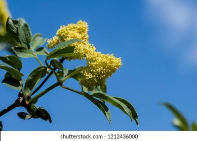 Red Elderberry (Sambucus racemosa) in Central Russia