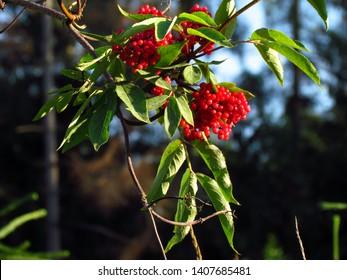 Red elderberry, Sambucus racemosa, red-berried elder, ripe red berries on a branch,