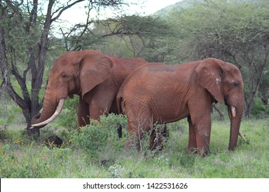 Red Elefants at Tsavo West National Park Kenya