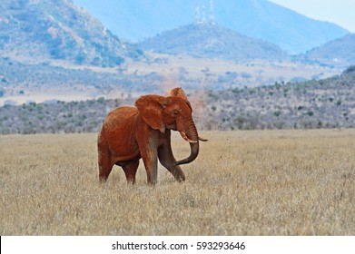 Red Elephant in the African savannah of Tsavo park