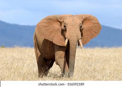 Red elephant in National park of Kenya, Africa