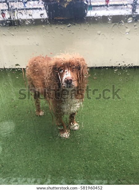 Red English Cocker Spaniel Dog standing out in the rain waiting to be let in