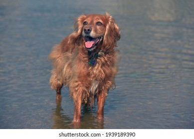 red english spaniel bathing and playing in the water in summer