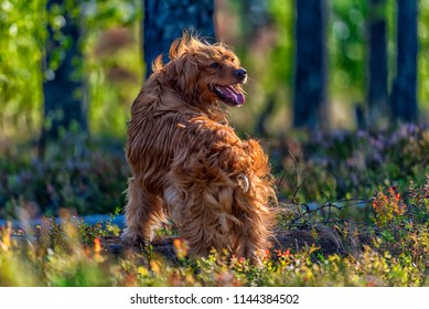 red english spaniel in the woods