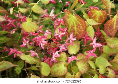 Red epimedium or barrenwort green decorative plant with pink flowers