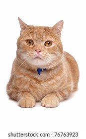 red exotic short-haired maine coon cat in front of a white background