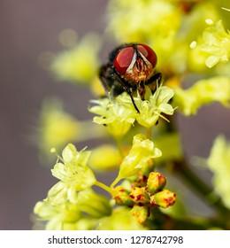 Red eye flesh fly visiting the yellow flower of Las Vegas wild buckwheat (Eriogonum corymbosum var. nilesii)