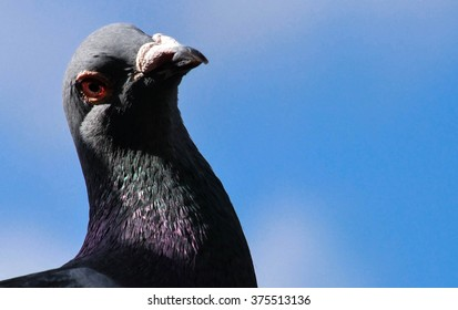 The red eye of a Pigeon