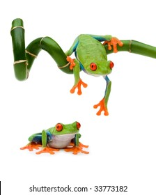 Red Eye Tree Frog (female)