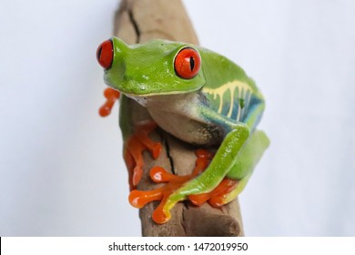 RED EYE TREE FROG THE MOST BEAUTIFUL EYES IN NATURE
