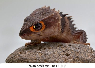 Red Eyed Crocodile Skink on stone