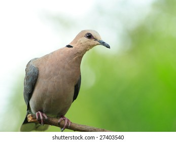 Red eyed dove sitting on a perch