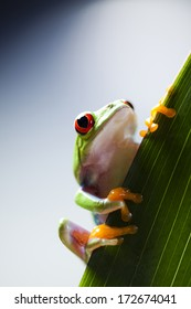 Red eyed frog green tree