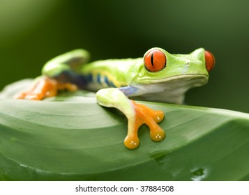 red eyed green tree or gaudy leaf frog on green leaf, exotic amphibian macro treefrog tropical jungle animal , manuel antonio nat park, Costa Rica, central america