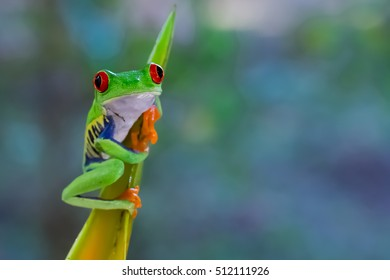 Red Eyed Leaf Frog sticks to a leaf and looks at one directly
