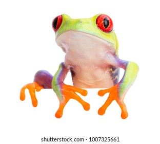 Red eyed monkey tree frog, from the rain forest of Panama and Costa Rica isolated on white. Agalychnis callidryas