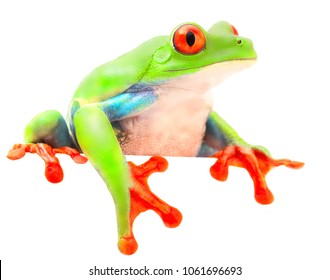 Red eyed monkey  tree frog from the tropical rain forest of Costa Rica and Panama. A curious funny animal with vibrant eyes looking over isolated on a white background.