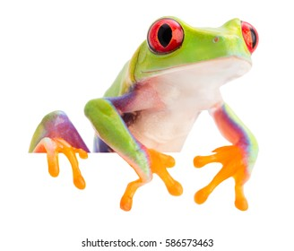 The red eyed monkey tree frog, Agalychnis callidryas, from the rain forest of Panama and Costa Rica isolated on white. A treefrog withvibrant eyes.