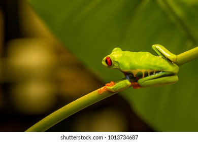 The red eyed tree frog is an arboreal frog native to tropical rain forests where it ranges from Mexico, through Central America, to Colombia.