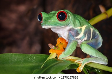Red eyed tree frog with big and protruding eyes sitting on the pitcher plant stem
