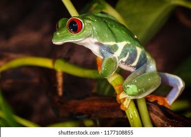 Red eyed tree frog climbs on the plant mast and looking down