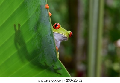 red eyed tree frog commonly called green tree frog on leaf showing silhouette and striking red eyes and orange feet in costa rica tropical rainforest jungle