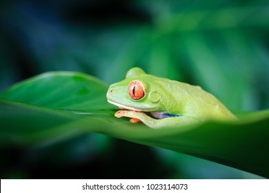 Red Eyed Tree Frog, Costa Rica, Caribbean Coast, Central America