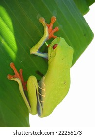 red eyed tree frog hanging on a leaf with white background