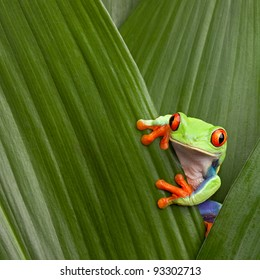 red eyed tree frog hiding in green background leafs Agalychnis callydrias exotic amphibian macro treefrog  Costa Rica curious tropical rain forest animal copyspace Panama or terrarium