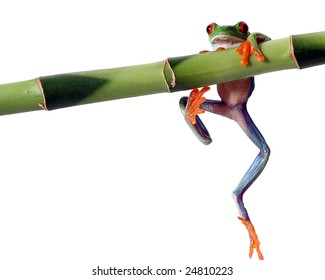A red eyed tree frog, isolated on white, slips from a bamboo shoot