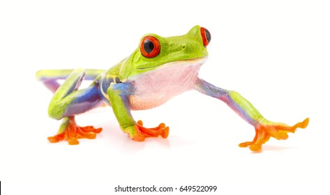 red eyed tree frog isolated on white, a beautiful tropical treefrog from the jungle of Costa Rica, Panama and Nicaragua. Rain forest animal.