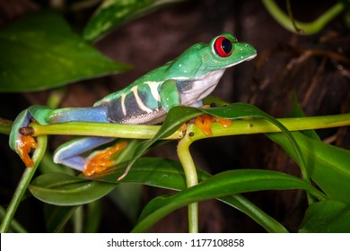 The red eyed tree frog looking to the distance