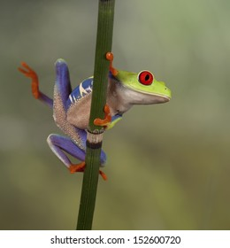 Red Eyed Tree Frog looking around