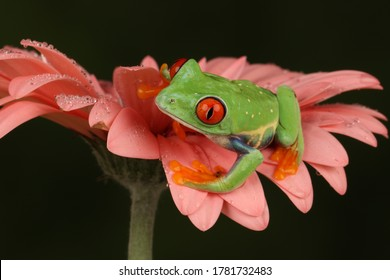 red eyed tree frog on a pink gerbera flower