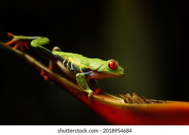 Red eyed tree frog on flower at border of Panama and Costa Rica in the tropical rainforest, cute night animal with vivid colors and big eye, agalychnis callidryas