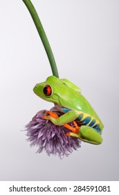 red eyed tree frog on chive flower