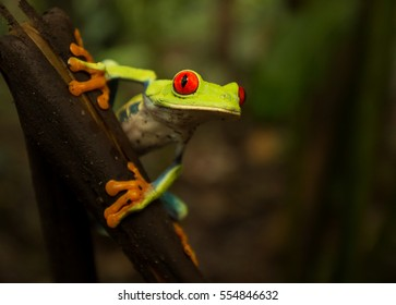Red Eyed Tree Frog on a stick in Arenal Volcano National Park Costa Rica
